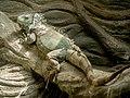 Green Iguana (19446940928).jpg