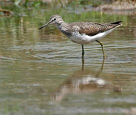 Green Sandpiper (Tringa ochropus)- In Breeding plumage at Bharatpur I IMG 5533.jpg