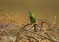 Green bee eater with kill.jpg