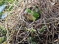 Green parrots at Parque por la Paz Villa Grimaldi - Santiago Chile - Peace Park (5277466655).jpg