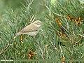 Greenish Warbler (Phylloscopus trochiloides) (49815555527).jpg