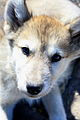 Greenlandic husky puppy (3673548403).jpg