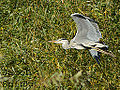 Grey Heron, in mid air (10120834866).jpg