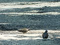 Grlica, mužjak i ženka (Streptopelia turtur); European Turtle-dove, male and female.jpg