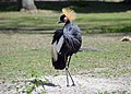 Grue couronnée (Zoo Amiens).JPG