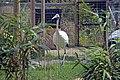 Grue de Mandchourie (Zoo Amiens).JPG