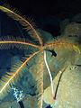 Guillecrinus neocaledonicus.jpg