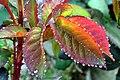 Guttation sur les feuilles d'un rosier.jpg