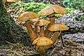 Gymnopilus viridans (Murrill) Hesler 383083.jpg