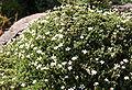 Gypsophila aretioides 01.jpg