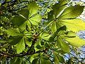 Hästkastanj (Aesculus hippocastanum) i Planteringsförbundets park, Falköping 2410.jpg