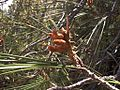 H20130601-8518—Pinus attenuata—Walker Ridge (9233604022).jpg