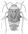 HEMI Miridae Wekamiris auropilosus.png