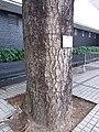 HK Central City Hall 愛丁堡廣場 Edinburgh Place 香港大會堂紀念花園 Memorial Garden trees Dec 2018 SSG 11.jpg