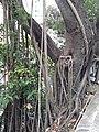 HK ML 香港半山區 Mid-levels 上亞厘畢道 Upper Albert Road flora green leaves April 2020 SS2 02.jpg
