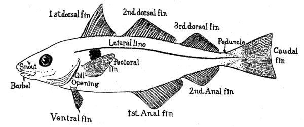 The haddock, a type of cod, is ray-finned. It has three dorsal and two anal fins Haddock fins.tiff