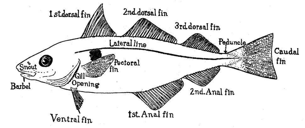 Haddock fins.tiff