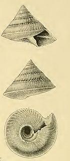 <i>Hadroconus sibogae</i>