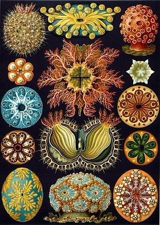 Ascidiacea - Ernst Haeckel's interpretation of several ascidians from Kunstformen der Natur, 1904