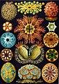 Haeckel Ascidiae.jpg