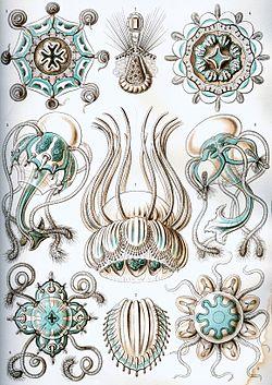 Haeckel Narcomedusae.jpg