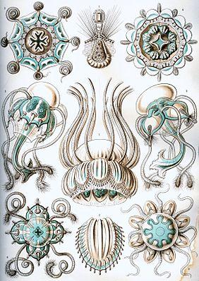 """Narcomedusen aus den """"Kunstformen der Natur"""" von Ernst Haeckel"""