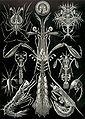 Haeckel Thoracostraca.jpg