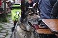 Halbwolf (112660585).jpeg