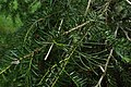 Halocarpus kirkii kz9.jpg