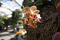 Hanging orchid - panoramio.jpg