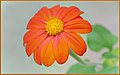 Happy Mexican Sunflower (163328603).jpeg