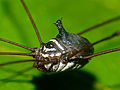 Harvestman (Opiliones) close-up (15283388590).jpg