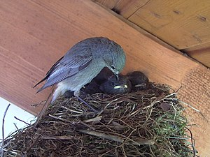 The Nest of & a Black Redstart (Phoenicurus ochruros)