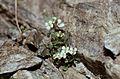 Hautes-Alpes Vieux Chaillol Fleurs 081990 - panoramio (8).jpg