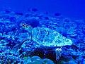 Hawksbill Turtle (5217805193).jpg