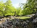 Hayas en los alrededores de los Lagos de Covadonga (Picos de Europa, Asturias, España).JPG