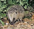 Hedgehog31.JPG