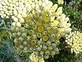 Helichrysum orientale 1.JPG