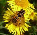 Helophilus pendulus. Syrphidae - Flickr - gailhampshire (3).jpg