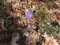 Hepatica nobilis fleurs20.03.2005.JPG