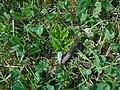 Heracleum mantegazzianum 2018-07-08 3757.jpg