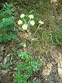 Heracleum sphondylium Vadassy2.JPG
