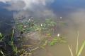 Herbstein Herbstein Schalksbach Teiche NR 165358 NW Persicaria amphibia Gerridae.png