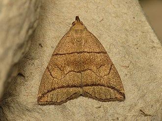 Herminiinae - Image: Herminia grisealis (14423921563)