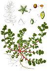 Herniaria glabra Sturm2.jpg