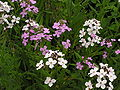 Hesperis matronalis variation 001.JPG