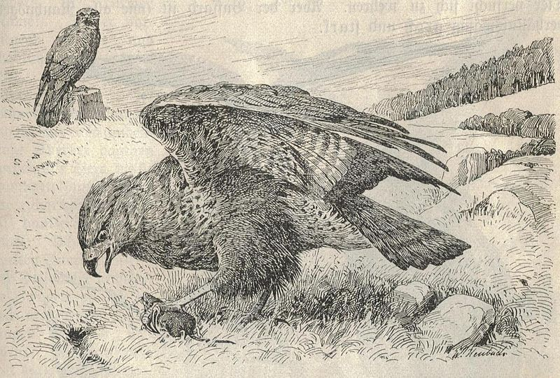 File:Heubach common buzzard.jpg