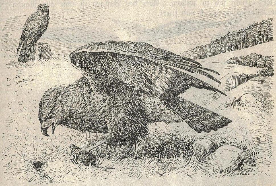 Heubach common buzzard