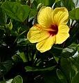 Hibiscus (23563642790).jpg