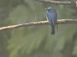 Fil:Hill Blue-flycatcher.ogv